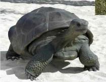 Galapogos Turtle #7211
